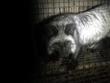 Dave DK - Recherche auf einer Pelzfarm